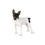 Petland Florence Toy Fox Terrier