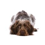 Petland Florence German Wirehaired Pointer