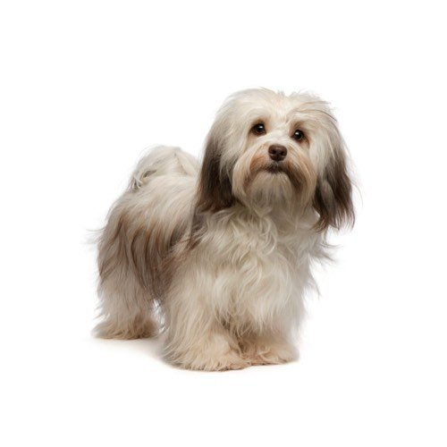 Havanese Puppies - Visit Petland Florence in Kentucky