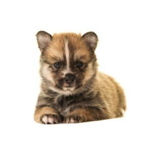 Pomsky Puppies - Visit Petland Florence in Kentucky