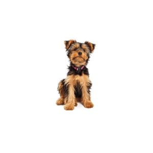 Yorkshire Terrier - Breed Info - Visit Petland Florence in