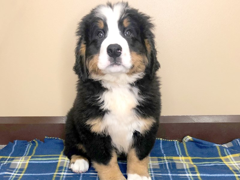 Bernese Mountain Dog Puppies Petland Florence