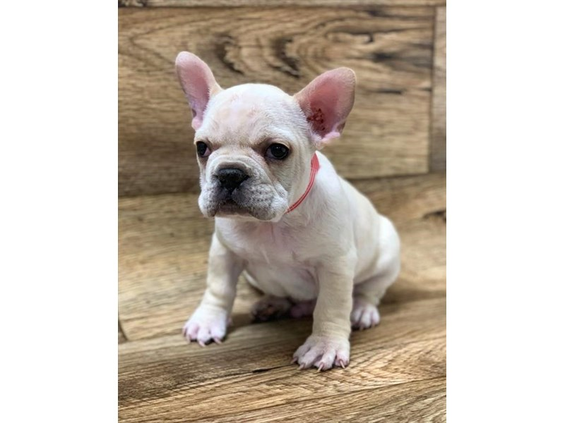 French Bulldog Puppies Petland Florence